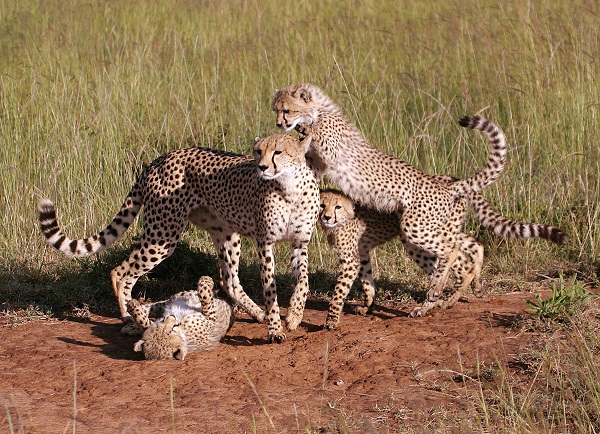 cheetah family cats