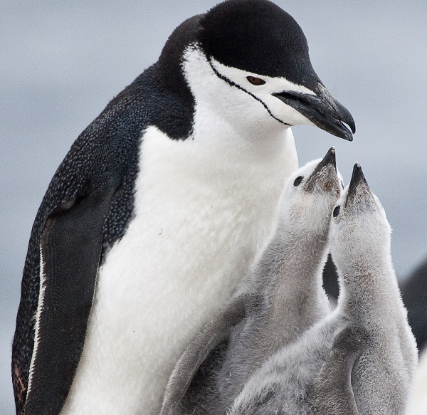 chinstrap penguin dad