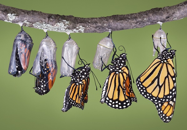 monarch butterfly livecycle