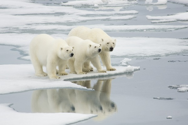 polar bears melted sea ice climate change
