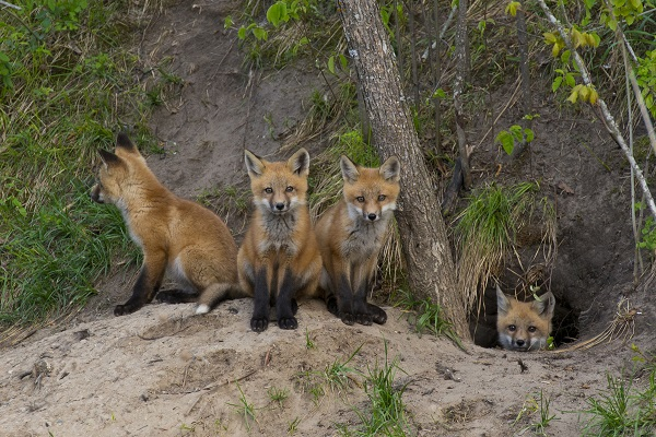 red fox cubs and den